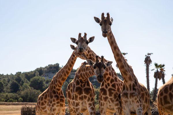 Les girafes, l'un des groupes de mammifères africaines les plus populaires dans la réserve privée de Sigean, dans l'Aude.