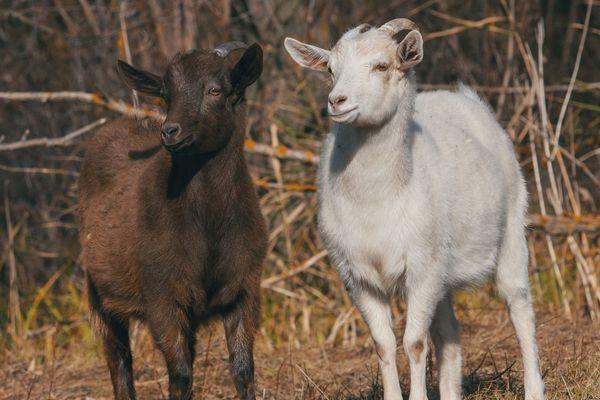 Contrairement à la plupart des herbivores, les chèvres raffolent des sapins de Noël. Photo d'illustration