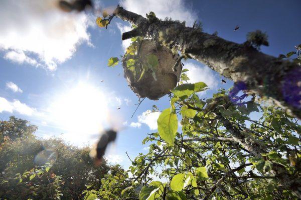 L'éradication du frelon asiatique passe par le signalement rapide des nids puis leur destruction.