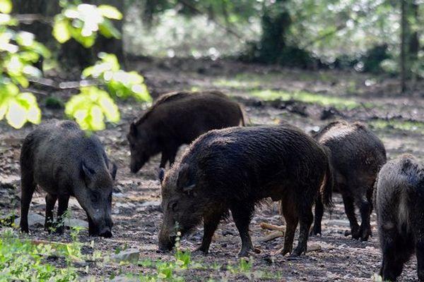 Les sangliers parfois prolifèrent et des battues doivent être organisées par les chasseurs pour réguler leur nombre. Image d'illustration