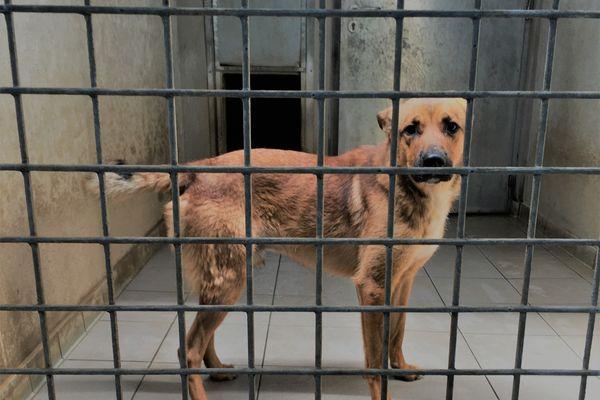 Yoko, chien de berger, a été saisi car ses maîtres lui infligeaient de mauvais traitements. Il attend une nouvelle famille au refuge de Tollevast (50)