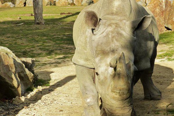 Sana, doyenne des rhinocéros blancs est morte le 12 novembre 219 à Planète Sauvage