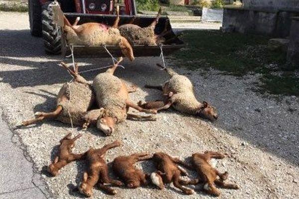 Au total, huit brebis et sept agneaux sont morts le week-end dernier, victime d'une attaque de loup.