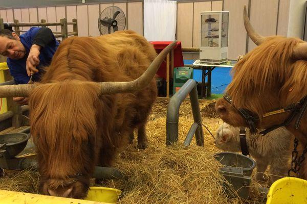 Des vaches highlands du Jura au SIA 2017