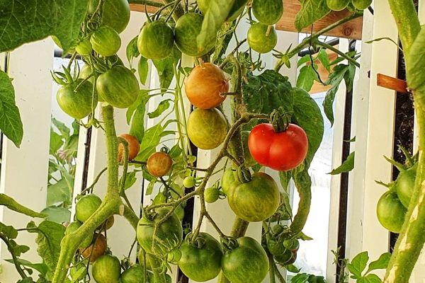 Les radis et les tomates s'adaptent parfaitement au milieu urbain