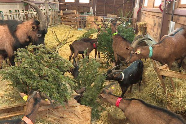 À la chèvrerie de Bruyères, se sont les chèvres qui s'occupent du recyclage des sapins de Noël