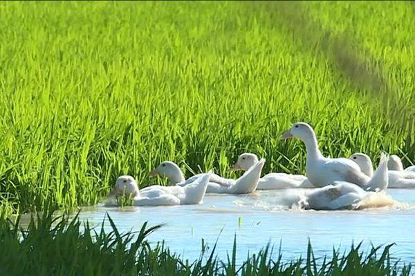 Des canards pour entretenir une rizière écologique, dans les marais gardois de Saint-Gilles.