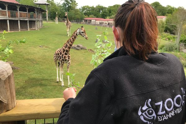 Depuis la toute nouvelle passerelle, il est désormais possible d'être au plus près des girafes et d'assister à leurs nombreux repas dans la journée.