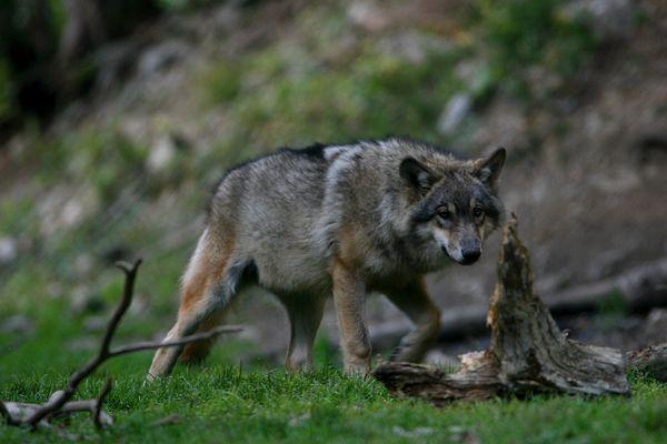 Il y aujourd'hui 580 loups en France, selon l'Office français de la biodiversité.