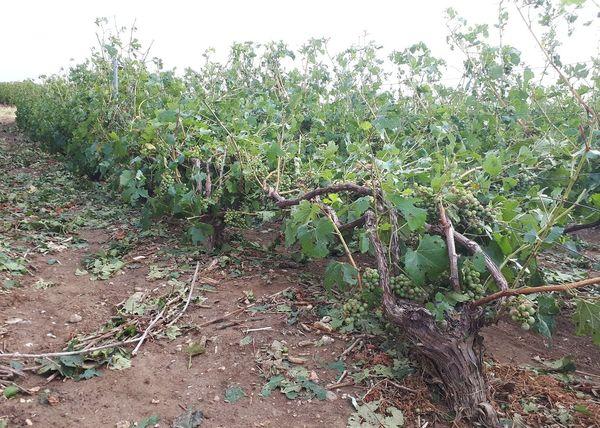 Les orages ont causé pas mal de dégâts dans le vignoble sézannais ce vendredi 9 août