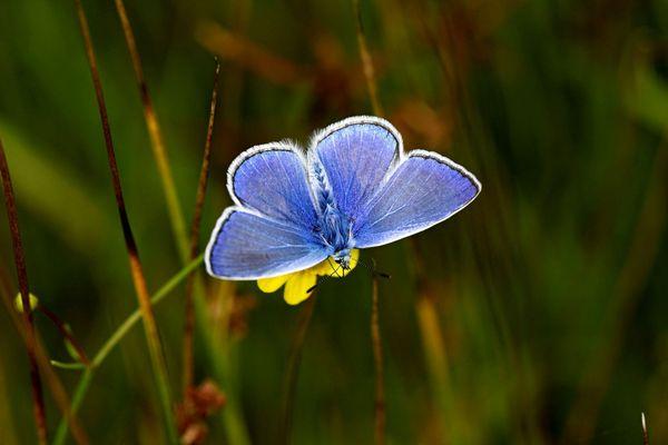 Papillon Argus bleu - Photo d'illustration