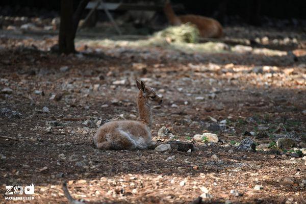 Montpellier - ce petit animal, né ce week-end, est en bonne santé, c'est une vigogne - octobre 2021.