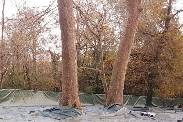 Les arbres malades seront abattus.