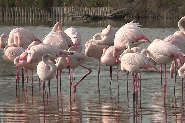 Les flamants roses se regroupent chaque année en Camargue pour nicher - avril 2020.