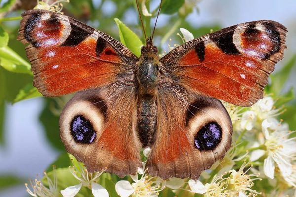 Le paon du jour, de la famille des Nymphalidae, ce papillon est protégé en Suisse.