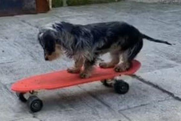 """""""Paxton"""" le chien skateur"""
