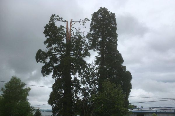 Le séquoia a perdu sa cîme dans le coup de foudre du 17 avril 2020