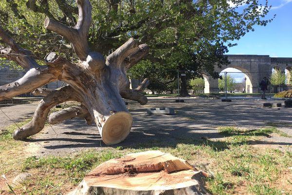 Des platanes parfois âgés, comme celui-ci, dont les branches affaiblies avaient déjà été tronçonnées.