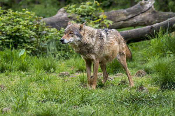 Un loup gris (image d'illustration)