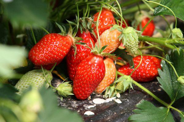 De belles fraises à déguster sans modération !