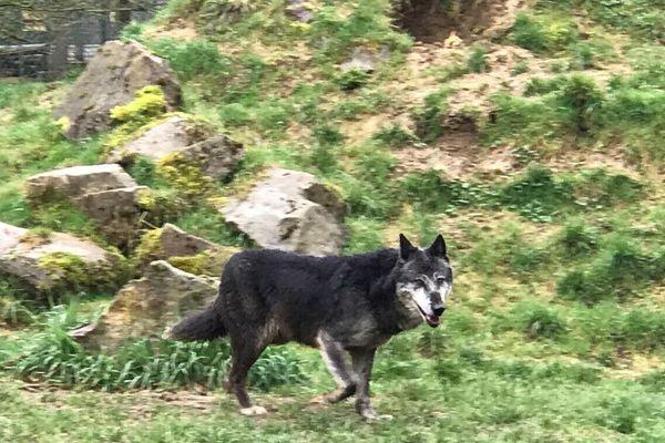 Un des loups du Canada qui habite au parc de l'Auxois