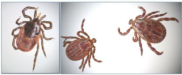 Femelle adulte Ixodes ricinus  et  Dermacentor marginatus adultes  femelle (à gauche) mâle (à droite) © CiTIQUE/INRAE