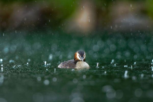 Un grèbe, sous la pluie battante.