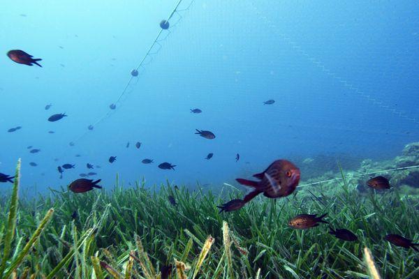 Les herbiers de posidonie représenteraient entre 25 000 et 50 000 km2 des zones côtières