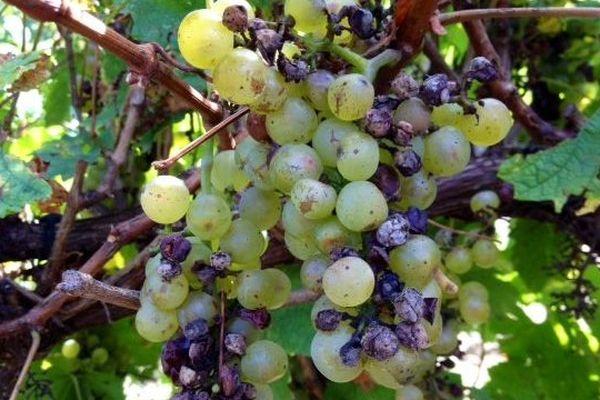 Raisins endommagés par la grêle à Grèze dans l'Aude