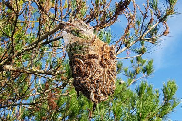 Nid de chenilles processionnaires dans un pin