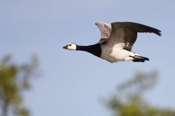 Un cas d'IAHP (influenza aviaire hautement pathogène) identifié sur une oie bernache trouvée morte sur le littoral du Morbihan.
