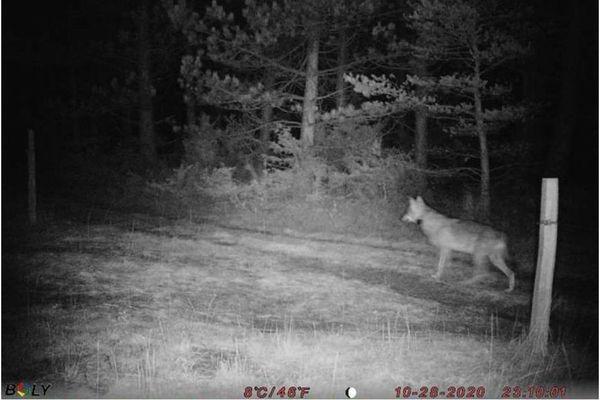 Le loup de Valberg avait été observé le 28 octobre dernier dans la Drôme.