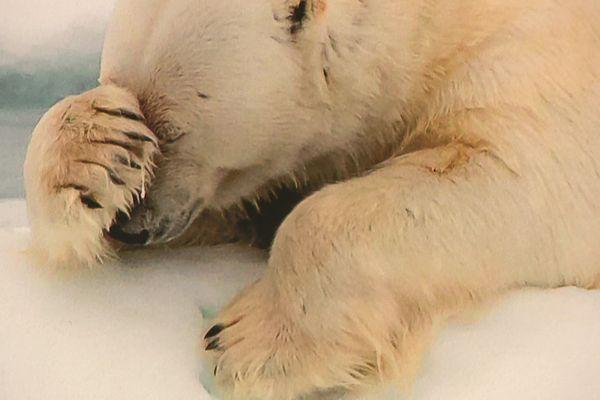 Un ours repu ou désespéré?