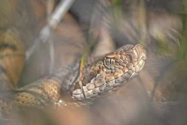 Cette vipère aspic a été photographiée dans l'Ain cette année.