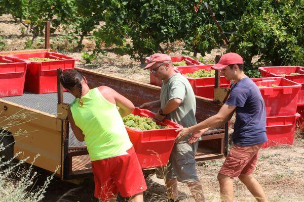 Fitou (Aude) - les vendanges de raisin bio ont débuté ce lundi - 28 juillet 2020.