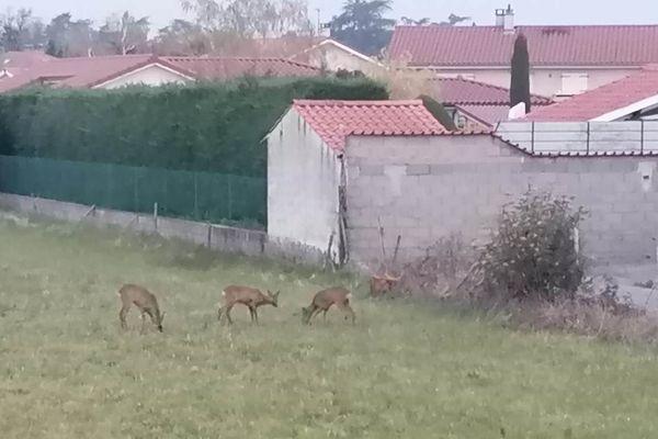 3 chevreuils se sont aventurés dans un quartier résidentiel de Veauche, dans la Loire, ce dimanche 29 mars, rassurés par... Le confinement de la population.