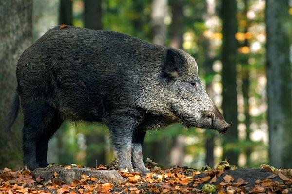 Deux cas de peste porcine ont été recensés dans les Ardennes jeudi 13 septembre