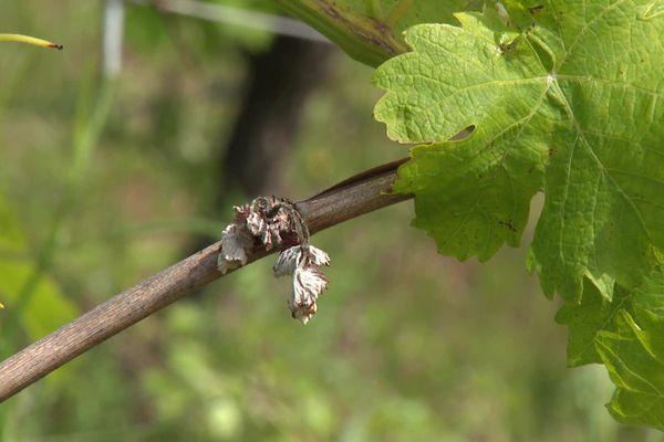 Le coup de gel du mois d'avril n'a pas épargné les vignes de la Loire, et tous les viticulteurs du département ont été touchés : Pilat Rhodanien, Forez ou Roannais