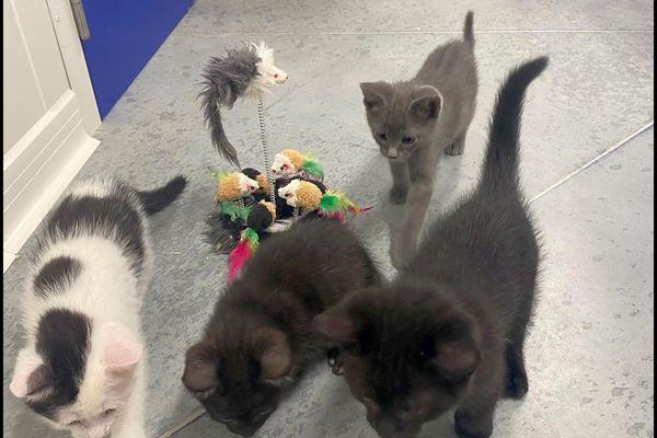 Des chats dans un refuge de la Société protectrice des animaux de Velaines-en-Haye.