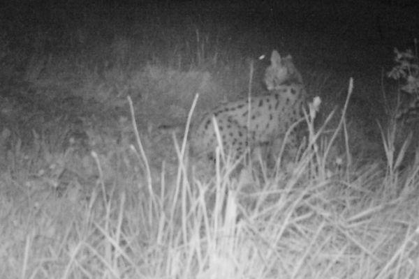 Le lynx surveille autour de sa proie dans la nuit.
