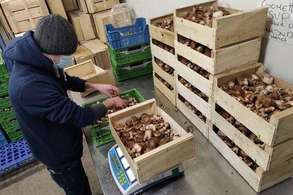Le conditionnement des champignons, réalisé en parallèle de la récolte.