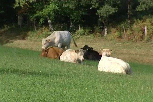 Des bovins prés de Pontaumur, le 18 septembre 2015.