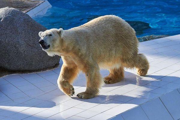 Vienna, ourse polaire hébergée temporairement par le zoo de la Palmyre depuis fin 2016, est décédée