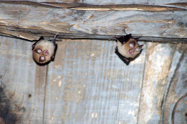 2 espèces de chauves-souris menacées, les petits et grands rhinolophes, habitent les combles de la mairie de Cassagnoles.