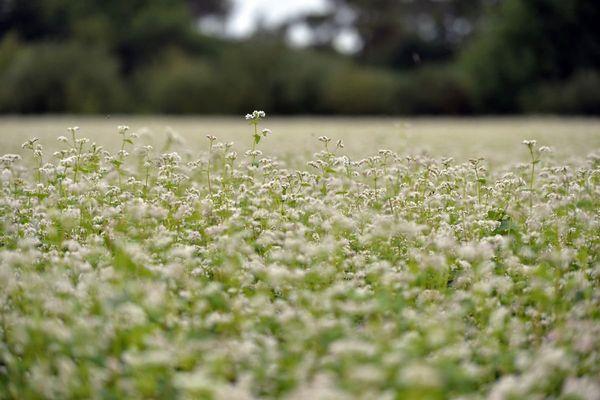 Champ de blé noir en fleurs