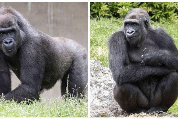 Les deux gorilles, Kuima et Mayombé, partent au Gabon
