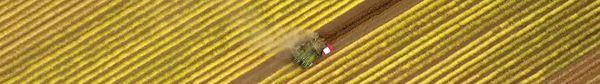 Arrachage du lin en Normandie