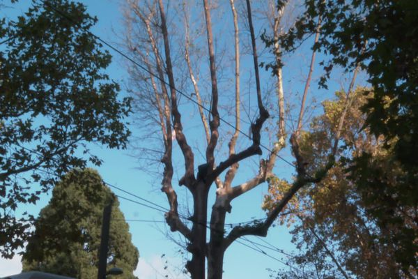 Montpellier - Un seul arbre malade condamne tous les autres - octobre 2021.