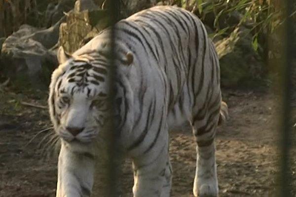Les tigres, le froid, ils aiment ça !