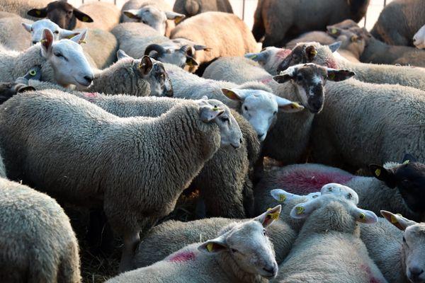 Montpellier - à Grammont, entre 800 et 1.000 agneaux vont être sacrifiés pour l'Aïd el Kébir - 19 juillet 2021
